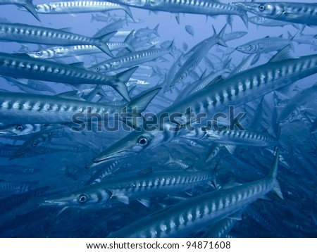 Large School of Barracudas, Ustica, Sicily, Italy - stock photo