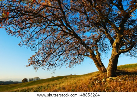 Large secular oak tree in autumn evening colors under blue sky