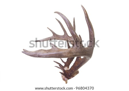 Large set of whitetail buck antlers side view isolated on white background