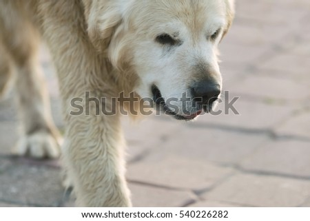 Large shaggy white dog to walk on the pavement