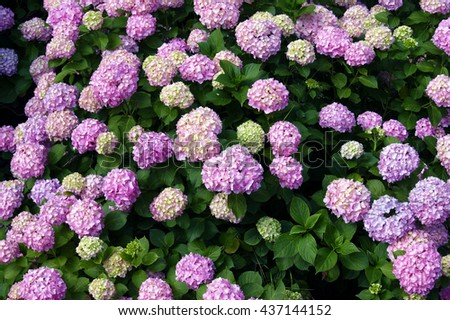 Large shrub with pink hydrangea inflorescences