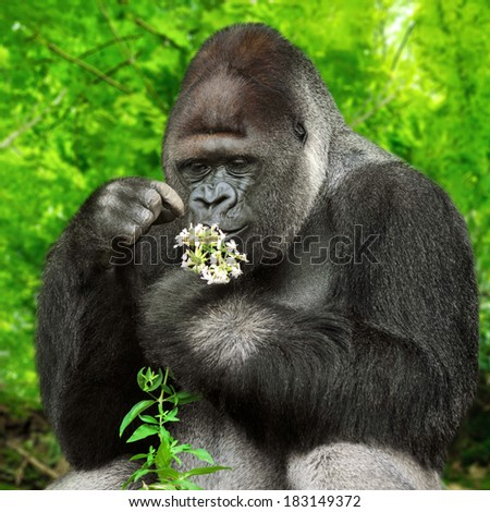 Large silverback gorilla gently holding a bunch of little flowers and observing them closely - stock photo
