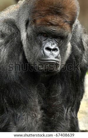Large Silverback Gorilla Staring - stock photo