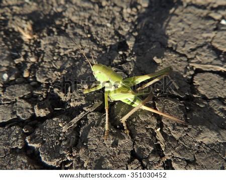 Large single grasshopper on the dry cracked ground - stock photo