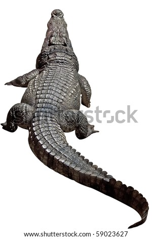 Large size crocodile resting - isolated object with clipping path. - stock photo