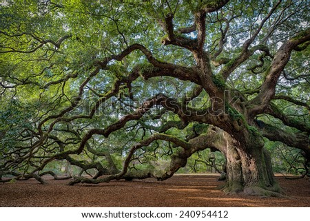 Large southern live oak (Quercus virginiana) near Charleston, South Carolina - stock photo