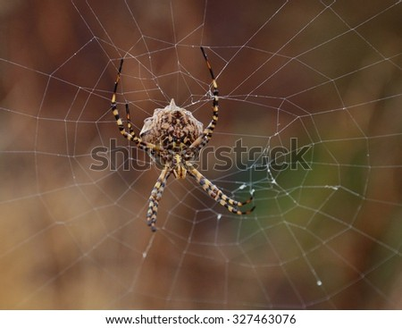 Large spider behind the network, argiope argentata - stock photo