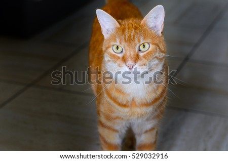Large striped ginger cat with golden eyes standing facing the camera staring off to the side with focused concentration