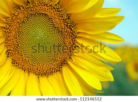 large sunflower - stock photo