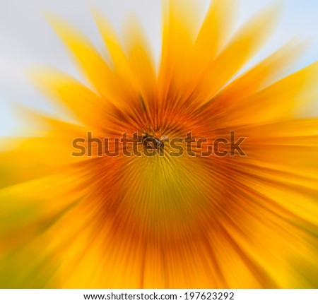 large sunflowers with bee and pollen on leaves  - stock photo