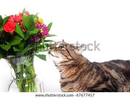 Large tabby cat investigates a bouquet of flowers on white background. Possible use for dangers for household pets.