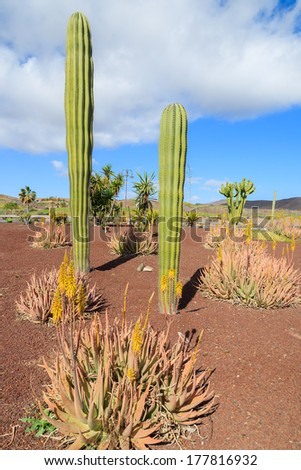 Large tall cactus plants growing on Fuerteventura among other tropical plants near road to Las Playitas town, Canary Islands, Spain  - stock photo