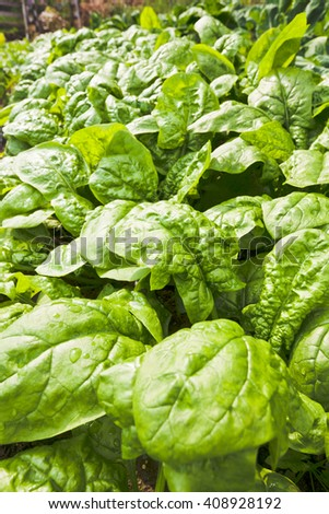 Large tasty crisp leaves of spinach plants vegetable growing in the field wet from rain