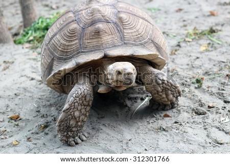 Large tortoise reptile walking on sandy ground through an arid desert ...