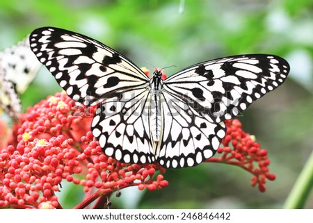 Large Tree Nymphs butterfly and flower,a beautiful butterfly on the red flower in garden,Paper Kite butterfly,Rice Paper butterfly  - stock photo