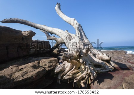 Large Tree Rocks Nature Power Large Tree from river storm floods waves ocean washed onto rock shelf, power of Nature. - stock photo