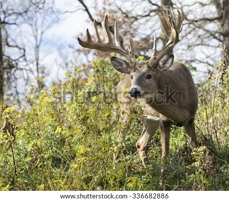 Large, trophy sized whitetail deer buck, alert and cautious - stock photo