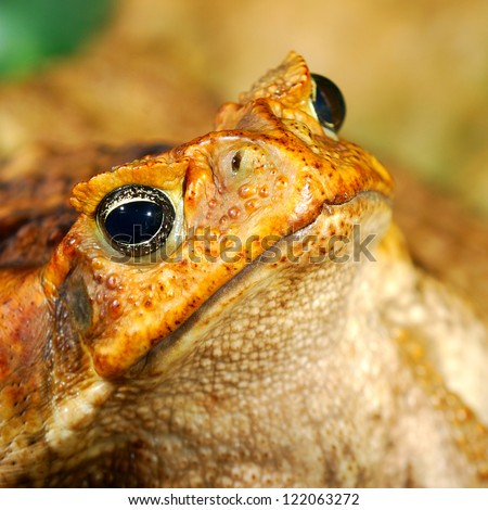 large tropical toad close-up - stock photo