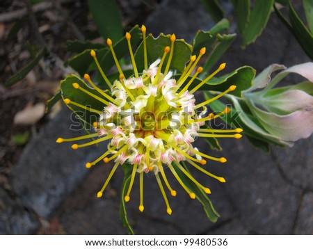 Large Tufted Pincushion or Mossel Bay Pincushion  (Leucospermum praecox) in Kirstenbosch botanical Garden, South Africa - stock photo