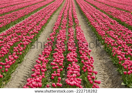 Large tulip field with lines.