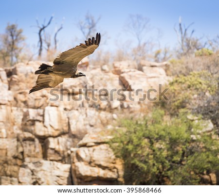 Large Vulture in flight soaring down a canyon wall in Botswana, Africa - stock photo