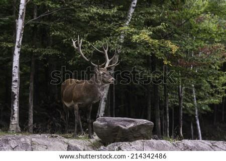 Large wapiti (deer) - stock photo