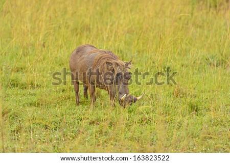 Large Warthog in the Savannah of Murchison Falls National Park in Uganda - stock photo