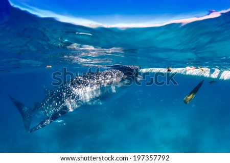 Large Whale Shark feeding near a boat on the surface - stock photo