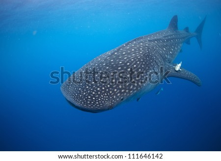 Large Whale shark (Rhincodon typus) glides gracefully underwater as it feeds on plankton off of mexico. - stock photo