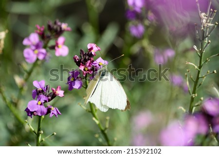 Large White butterfly on pink flower - stock photo