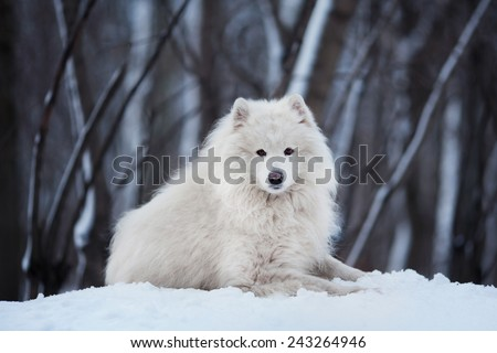 Large white dog lying on snow in winter - stock photo