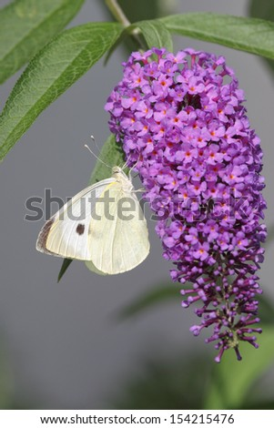 Large White (Pieris brassicae) sitting on the blossom of a butterfly bush. - stock photo
