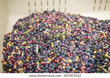 Large white plastic vat of vibrant colored olives after a harvest in Paso Robles - stock photo