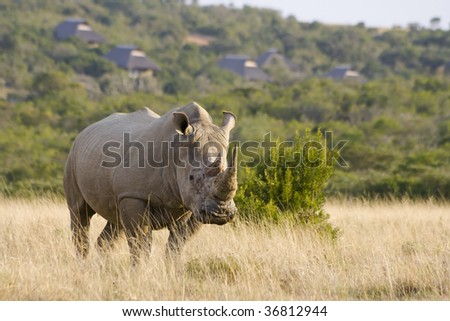 Large white rhino male with lodge in background - stock photo