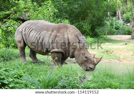 Large white rhinoceros (Ceratotherium simum) is drinking the water in the pool - stock photo