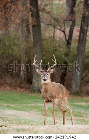 Large white-tailed deer buck in an open meadow on a winter day in Jefferson Barracks National Cemetery near St. Louis, Missouri - stock photo
