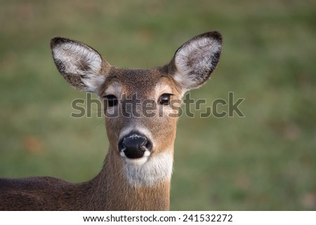 Large white-tailed deer doe in an open meadow on a winter day in Jefferson Barracks National Cemetery near St. Louis, Missouri