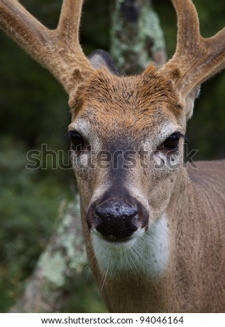 Large Whitetail Buck Extreme Close-up, Velvet Antlers - stock photo