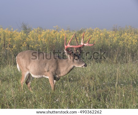 Large whitetail buck with red antlers in a field of wild flowers