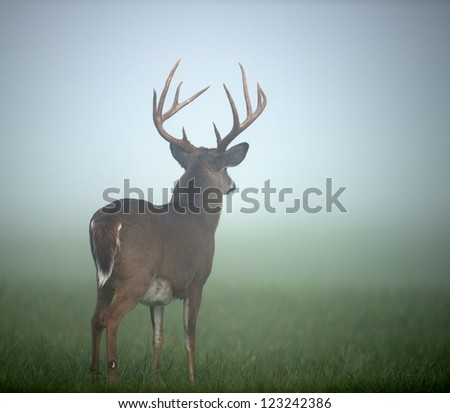 Large whitetailed deer buck standing in an open meadow during heavy morning fog - stock photo