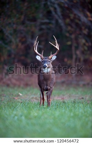 Large whitetailed deer feeding in an open meadow - stock photo