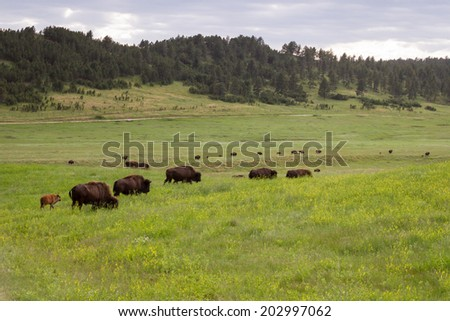 large wild american buffalo herd in the grasslands of South Dakota - stock photo