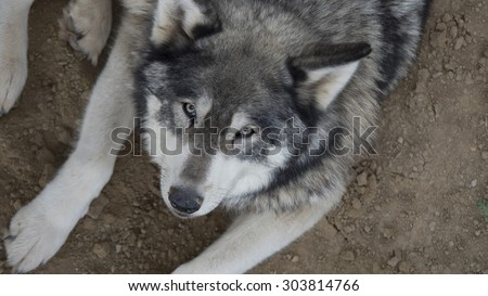 Large wolf looks directly at the camera - stock photo