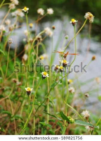large yellow orange dragonfly resting on a white wild daisy grass flower in nature under bright summer sunlight  with green grass and natural surface bokeh background - stock photo