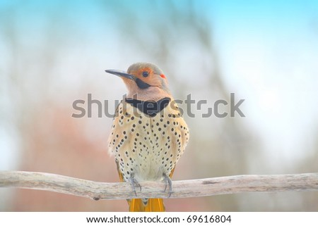 large yellow shafted northern flicker is one of the most beautiful birds that I have seen