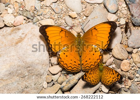 Large yeoman and small leopard butterfly on floor - stock photo