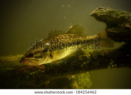 largemouth bass fish underwater in lake - stock photo