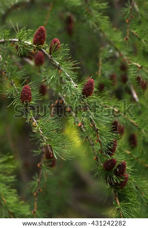 Larix sibirica - stock photo