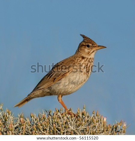 Lark perched on a bush, against blue sky, close-up - stock photo