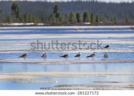 Larus heuglini. Birds on lake ice in the north of Siberia in the spring afternoon